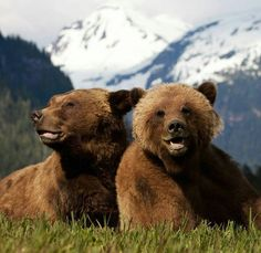 Awe! C'mon- can Grizzly bears really be this cute? +