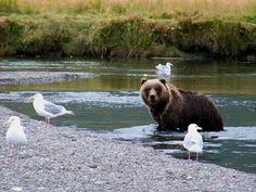 Russian River, Kodiak Alaska (photo by jone suleski) Kodiak Alaska, Anchorage Alaska, Alaskan Homes, Kodiak Island, North To Alaska, Living In Alaska, Love Bear, Animals Images