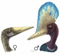 "blamoscience: "" Above: Sexual dimorphism in the pterosaur Darwinopterus. (Credit: Image by Mark Witton) The term ""sexual selection"" refers to the evolutionary pressures that relate to a species'. Reptiles, Mammals, Recent Discoveries, Dinosaur Fossils, Live Animals, Extinct Animals, Prehistoric Creatures, Vertebrates, Prehistory"