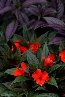 New guinea impatiens in the ground.