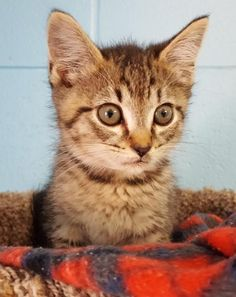 Chip 24624 is an adoptable Domestic Short Hair searching for a forever family near Prattville, AL. Use Petfinder to find adoptable pets in your area.