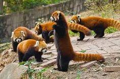 Znalezione obrazy dla zapytania red panda