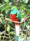 I'm not a birder but I did decide to go look for the Quetzal in Boquete. I guess I was lucky because I saw a couple and am glad I took the time to try. They are beautiful birds and there is something magic about them in my opinion.http://bestplacesintheworldtoretire.com/questions-and-answers/1481-are-there-exotic-birds-in-and-around-boquete-panama-where-can-i-go-bird-watching-in-and-around-boquete-panama