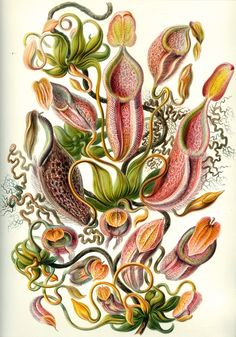 Ernst Haeckel Nepenthes...I love carnivorous plants!