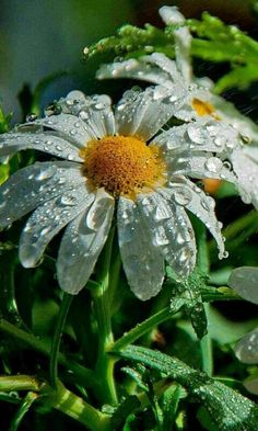 droplets on daisy. Sunflowers And Daisies, Beautiful Flowers, Daisy Love, Types Of Roses, Growing Orchids, Orchid Plants, Orchid Seeds, Flower Seeds, Belle Photo