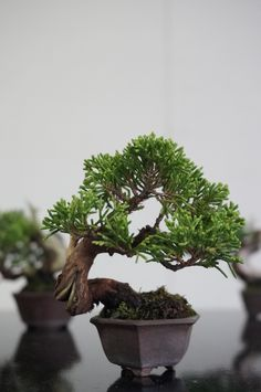 Mame Bonsai, Juniper Bonsai, Miniature Trees, Bonsai Garden, House Plants, Minis, Flower Arrangements, Horticulture, Flowers