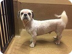 Scottsdale, AZ - Shih Tzu. Meet Wilson, a dog for adoption. http://www.adoptapet.com/pet/16224905-scottsdale-arizona-shih-tzu