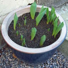 Tulip Purple Prince, Jan 17. http://www.mandycanudigit.co.uk/#!daffodils-tulips/cms5