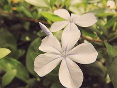 Plumbago + Featured
