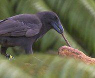 Scienza: Le #abilità #artigiane dei corvi delle Hawaii (link: http://ift.tt/2cJxP5a )