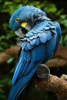 A funny parrot can be so cute. Check out these funny parrot videos. Contains some funny parrots dancing, some funny parrots talking or better said, imitating, Cute Birds, Pretty Birds, Beautiful Birds, Animals Beautiful, Tropical Birds, Exotic Birds, Colorful Birds, Ara Hyacinthe, Animals And Pets