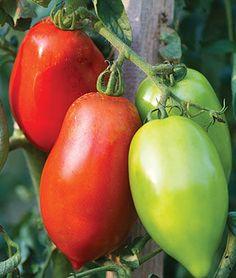 Tomato, Big Mama Hybrid, , large