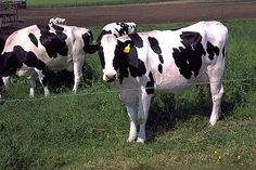 Healthy Live Dairy Cows and Pregnant Holstein Heifers Cow/Boer Goats, Live Sheep, Cattle, Lambs Species Extinction, Holstein Cows, Gyr, Barnyard Animals, Livestock, Cattle, In This World, Fun Facts, Awesome Facts