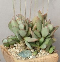 coral cactus care instructions