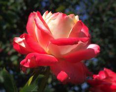 Rotweisse Rose