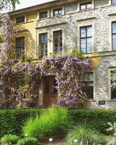 Alter Blauregen in der Frühlingsblüte, Botanischer Garten Halle an der Saale / Sachsen-Anhalt