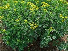 Companion plant rue with garlic and catnip for pest control in your vegetable patch or rose border.