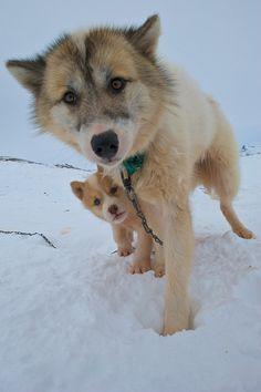 Greenland Dog / Husky / Grønlandshunden / Grünlandshund / Esquimaux Dog