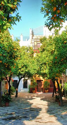 There were Orange Trees everywhere in SEvilla. Sevilla, Spain.