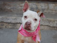 SIMBA - A1034788 - - Brooklyn  TO BE DESTROYED –  05/16/15 A volunteer writes: Not only is Simba the sweetest pittie, she also might hold the key to the fountain of youth! I happened to be there when she was brought in with her housemate, Diamond. Both girls were so wiggly and friendly to everyone….and we all collectively gasped when we learned that Simba is 11 years old! She is very petite and beautiful. The little mole between her cheek and her mouth makes her lik