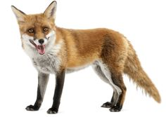 fox white background - Google Search