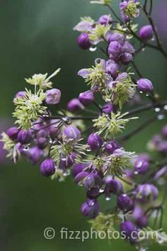 One of the very best with superb purple flushed grey blue foliage leading to delicate heads of purple and cream flowers. Cream Flowers, Purple Flowers, Wild Flowers, Architectural Plants, Prairie Garden, Herbaceous Border, Garden Makeover, Ornamental Grasses, Perennials