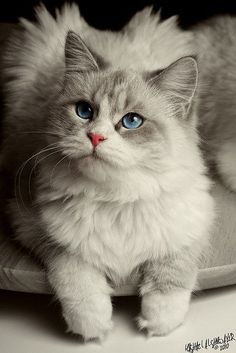 10 Cat Breeds For Dog Lovers: Ragdoll--relaxed,easygoing,lap-cats. Most love their owners so much they greet them at the door.