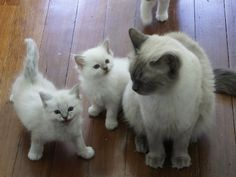 I ADORE my RAGDOLLS, one blue point and one lynx. Sweetest cat dispositions ever!