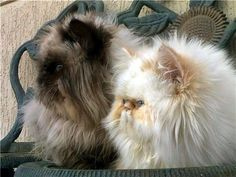Double Persian Trouble (by i_am_a_honey_bee)