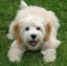 photo idea on grass cockapoo cut styles - Google Search