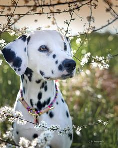 Cute Puppies, Dogs And Puppies, Cute Dogs, Animals And Pets, Cute Animals, Dalmatian Dogs, Dog Rooms, Puppy Eyes, Dog Birthday