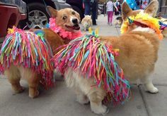 """Hula Corgis! """"So there was a corgi parade in my city yesterday... by mikeandmiller"""" #funnycorgi"""
