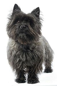 Terrier Dogs Photograph - Cairn Terrier Dog by Jean-Michel Labat Terrier Breeds, Terrier Dogs, Dog Breeds, Cairn Terriers, Dog Ramp, Norwich Terrier, Dog Artwork, Jean Michel, Scottish Terrier