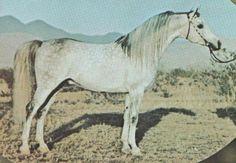 GDANSK 1968 grey stallion (*Bask++ x *Gdynia+)