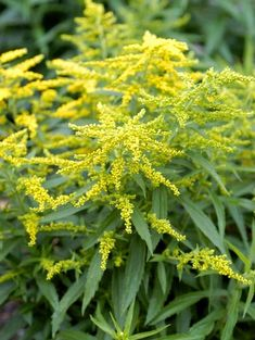 crown-rays-goldenrod-yellow-blooms-5e4ca222 Clay Soil Plants, Planting In Clay, Best Perennials, Flowers Perennials, Perennial Geranium, Perennial Grasses, Prairie Planting, Garden Plants Vegetable, Seaside Garden
