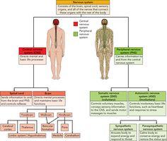 Nervous System-CNS & PNS