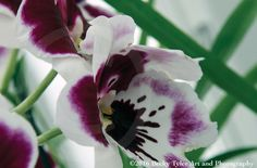 Purple Miltonia Orchid Macro Fine Art Photo Print by BeckyTylerArt