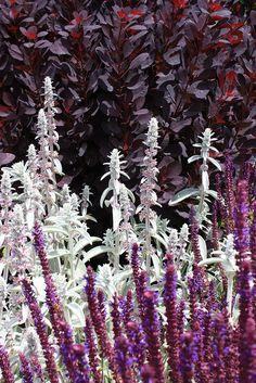 Stachys byzantina by Judepm, via Flickr  Czyściec wełnisty by  http://www.swiatkwiatow.pl/czysciec-welnisty-stachys-byzantina-syn-stachys-lanata-stachys-olympica-id466.html