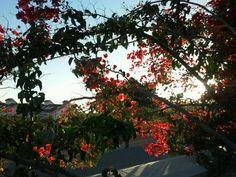 Buganvilla de entrada de la villa al atardecer Country, Entryway, Plants, Flowers