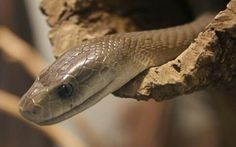 Dendroaspis polylepis - Black Mamba (Africa's Most Feared Snake)