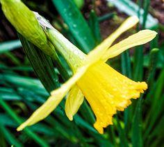 A Lonely Daffodil by Martin Wall #daffodil #flower