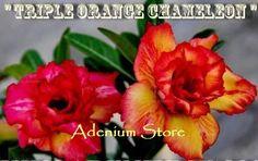 Adenium 'Triple Orange Chameleon' 5 Seeds