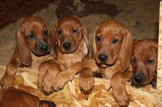 Redbone Coonhounds~I'll take them all. Soooooo adorable!