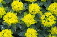 Incredibly showy, Euphorbia polychroma is a mounding perennial considered one of the best for borders. Growing in an attractive dome, it bears dense, flattened golden-yellow flowers in spring, and is one of the few perennials to display a showy fall f Garden Soil, Garden Plants, Sun Garden, Landscaping Plants, Outdoor Landscaping, Dream Garden, Pretty Flowers, Yellow Flowers, Gardens