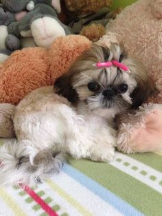 "Obtain wonderful suggestions on ""shih tzu puppies"". They are available for you on our web site. Shih Tzus, Shih Tzu Mix, Shih Tzu Puppy, Yorkie, Cute Puppies, Cute Dogs, Dogs And Puppies, Doggies, Lion Dog"