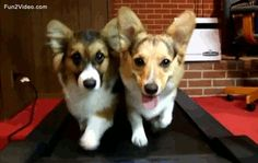 Treadmill Workouts Of Funny Dogs Funny Gif  [ More Funny Gifs: http://www.fun2video.com/animated-gifs/ ]