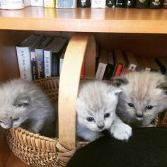 Basket of Love ❤️ Seal Mink Ragdoll Kittens Ragdoll Kittens For Sale, Kitten For Sale, Mink, Seal, Basket, Cats, Instagram Posts, Animals, Gatos