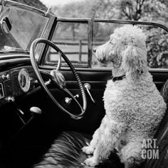 View of a Car Showing a Poodle, Probably Called Baker White, Sitting in the Driver's Seat #Animals #Photography #Print