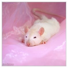 Sweetest rat picture I have ever seen