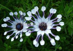 Margarida do Cabo (Osteospermum ecklonis), - Pesquisa Google
